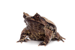 The long-nosed horned frog on white Royalty Free Stock Image