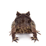 The long-nosed horned frog on white Royalty Free Stock Photos