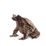 The long-nosed horned frog on white Royalty Free Stock Photo