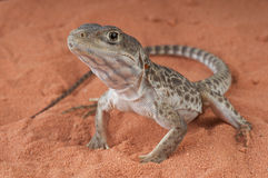 Long-nosed Leopard lizard. The long nosed leopard lizard,  Gambelia wislizenii, Its range includes the Western part of the United States from Oregon to Idaho in Royalty Free Stock Image