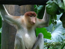 Long-nosed monkey - Proboscis. The proboscis monkey is found in Southeast Asia only on the island of Borneo. The male& x27;s pendulous nose can become so large Royalty Free Stock Images