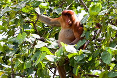 Long Nosed Monkey Sitting In A Tree Royalty Free Stock Photography