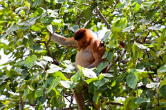 Long nosed monkey sitting in a tree Royalty Free Stock Photos
