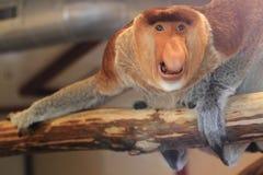 Long-nosed monkey Stock Photos