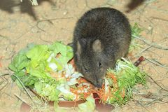 Long-nosed potoroo Stock Images