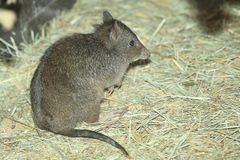 Long-nosed potoroo Stock Image