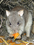 Long-nosed Potoroo Stock Photography