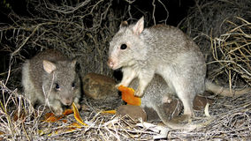 Long-nosed Potoroo Royalty Free Stock Images