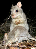 Long-nosed Potoroo Royalty Free Stock Image