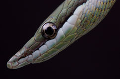 Long nosed snake Stock Photos