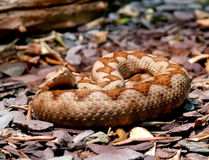 Long nosed viper snake Stock Photography
