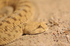Long-nosed viper Stock Photos