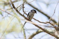 Long oiseau coupé la queue de mésange Image libre de droits