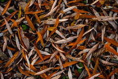 Long orange leaves scattered evenly on ground. Long orange leaves scattered evenly on floor Royalty Free Stock Photography