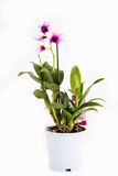 A long orchid pot Royalty Free Stock Image