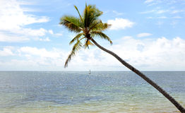 Long Palm. Image of a long Palm tree by the beach Royalty Free Stock Photography