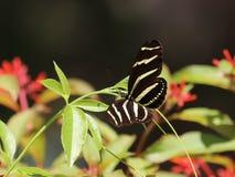 Long papillon de zèbre d'aile photographie stock