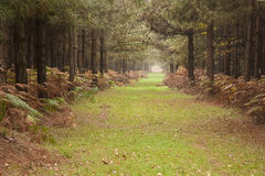 Long path through pine tree forest in Autumn Fall Stock Photography
