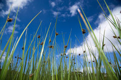 Long peaceful reeds Royalty Free Stock Image