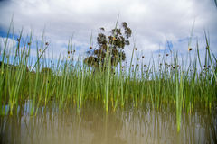 Long peaceful reeds in the water Royalty Free Stock Images