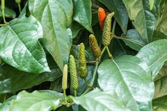 Long Pepper Royalty Free Stock Images