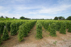Long pepper tree spices farm Royalty Free Stock Photo