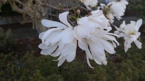 Long petal white flowers on tree Royalty Free Stock Images
