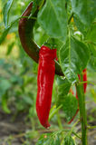 Long piment rouge Image stock