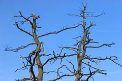 Long pin mort avec des branches pas droites et foncées sans l'écorce Vue des cieux supérieurs et bleus d'arbre latvia image stock
