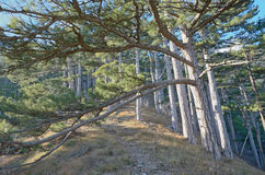 Long pine branches over forest path stock images