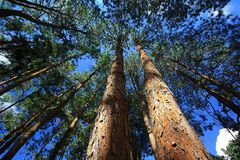 Long Pine Trees Royalty Free Stock Photo
