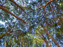 The long pine trees in the forest reaching into the sky.  stock photography