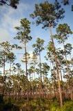 Long pines Everglades. Everglades Slash Pines stand against blue sky royalty free stock image
