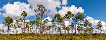 Long pines (panoramic) Stock Images