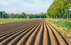 Long potato ridges in a Dutch polder. The ridges have been grounded after the mechanical planting of the potatoes to protect the roots and the newly growing Stock Photo