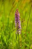 Long pré sauvage de fleur lilas Photos libres de droits