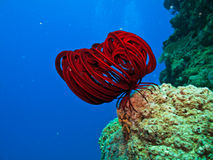 Long Red tentacles on sea creature. Red Sea Creature on coral in Great Barrier Reef Australia stock photography