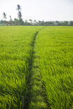 Long rice grass Stock Photo