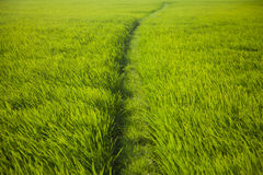 Long rice grass Stock Photos
