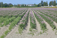 Long Ripening Strawberry Field Stock Image