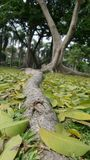 Long root under the shade of big tree Stock Image