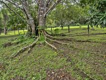 Long roots crawl away from the rain forest tree, Belize stock images