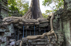 Long roots of Sprung tree. Giant exposed roots of Sprung trees on Ta Prohm temple at Angkor in Siem Reap province Royalty Free Stock Photo