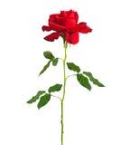 Long rouge Rose de cheminée Photographie stock