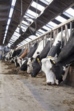 Long row of cows sticking their heads out bars to feed Royalty Free Stock Image