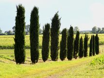 Long row of cypress trees in the field cultivated Stock Image