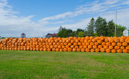 Long Row of Pumpkins Stock Image
