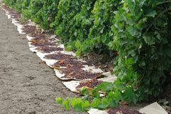 Long row of raisins drying in field Royalty Free Stock Image