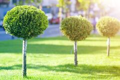 Long row of young decorative ever-green trees with lash round neatly trimmed foliage, ornamental plants growing on lawn fresh. Green grass on sunny summer day stock photo