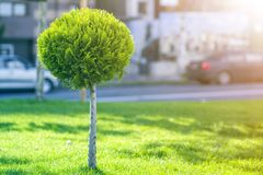 Long row of young decorative ever-green trees with lash round neatly trimmed foliage, ornamental plants growing on lawn fresh. Green grass on sunny summer day stock images